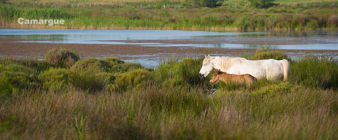 Cavalli Camargue