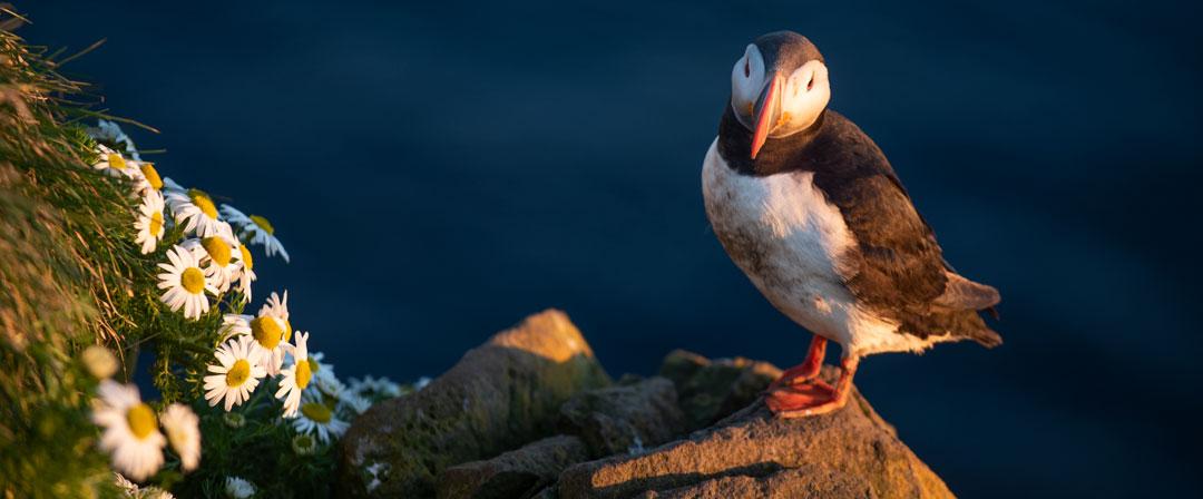 viaggio fotografico in Islanda, pulcinella di mare